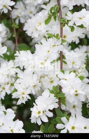 Exochorda x macrantha 'The Bride' flowers. - Stock Image