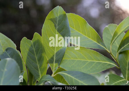 Beautiful green leaves in a closeup photo. Photographed in Nyon, Switzerland. Color image. Dark background. Color image. - Stock Image