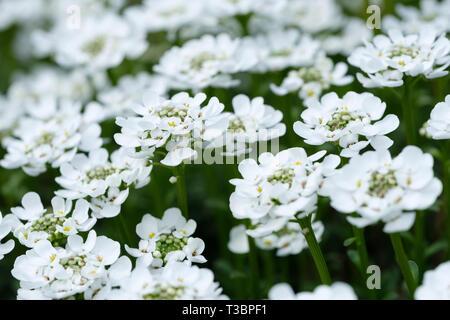 View mass white flowers, Iberis sempervirens 'Appen-Etz' Candytuft Appen-Etz - Stock Image