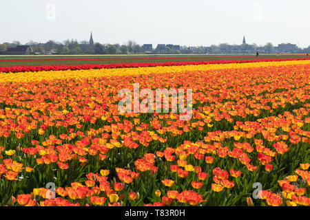 Lisse, Holland - April 18, 2019: Traditional Dutch tulip field with rows of orange and red flowers and church towers in the background - Stock Image