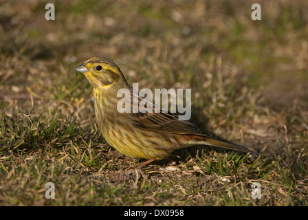 Female European Yellow Bunting perched on the ground - Stock Image
