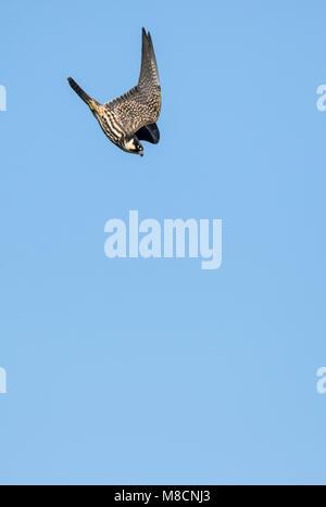 Juvenile Hobby in flight, (Falco subbuteo) - Stock Image