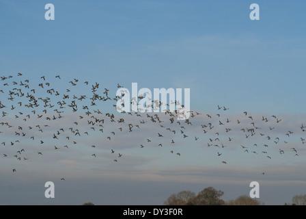 Flock of European Wood-pigeons (Columba palumbus flying in winter sky - Stock Image