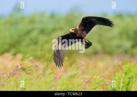 Closeup of a Female western marsh harrier, Circus aeruginosus, bird of prey in flight searching and hunting above a field - Stock Image