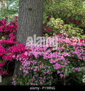 Colourful azalea shrubs in the famous Japanese garden (Japanse Tuin) in spring (May), Clingendael Park, The Hague (Den Haag), Netherlands. - Stock Image