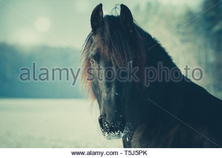 A Friesian horse in the snow - Stock Image