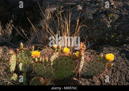 Prickly pear cactus in bloom at lava field, Carrizozo Malpais lava flow in Valley of Fires, Tularosa Basin near - Stock Image