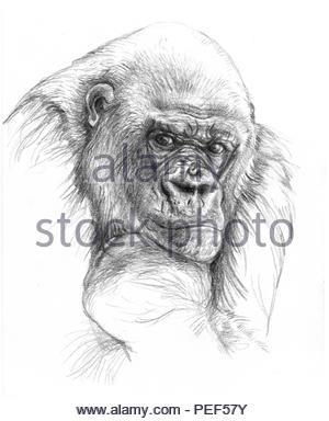 gorillamann portrait - Stock Image