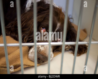 Springer Spaniel Recovering from General Anaethesia in a Kennel in a Veterinary Surgery - Stock Image