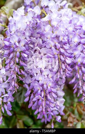 Wisteria flowers - Stock Image