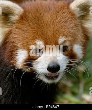 Red or lesser panda, Wolong, Sichuan Province, China - Stock Image