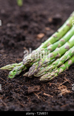 New harvest of green asparagus vegetable in spring season, green asparagus growing up from the ground on farm close up - Stock Image