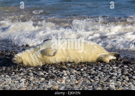 Grey Seal, Kegelrobbe, Halichoerus grypus, Helgoland, newborn pup resting on pebble beach - Stock Image