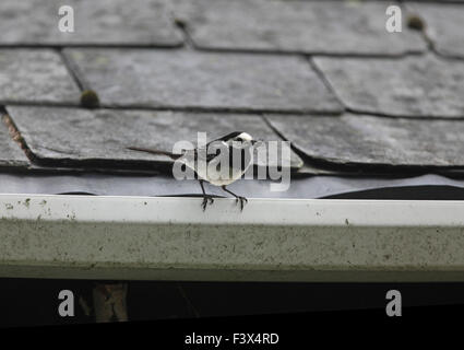 Pied wagtail Motacilla alba perching on barn guttering with beakfull of flies Carmarthenshire July 2015 - Stock Image