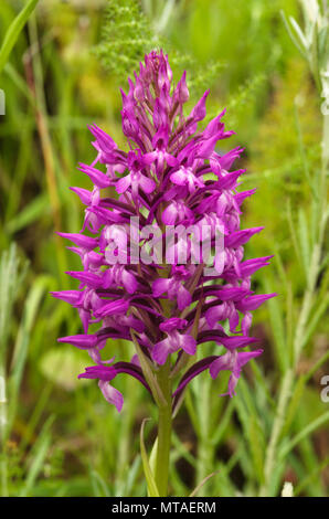Wild and rare orchid hybrid Anacamptis x simorrensis inflorescence against a natural green background. It's an hybrid between Pyramidal Orchid (Anacam - Stock Image