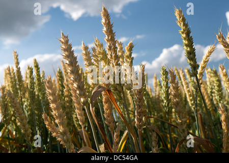 Ears of wheat ripening in the sun - Stock Image