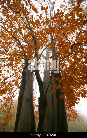 Yellow leaves, several beech trees intertwined. - Stock Image