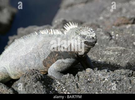 Marine Iguana, Amblyrhynchus cristatus, Iguanidae, Punta Espinoza, Fernandina (Narborough) Island, Galapagos Islands, - Stock Image