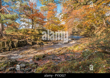 Vivid autumn colours on the wooded riverbanks of the river Tees at Low Force, Bowlees, North Pennines AONB, County Durham UK - Stock Image