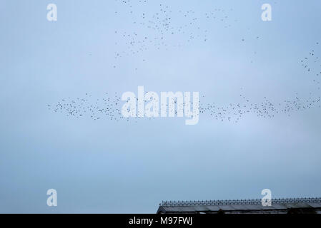 Starling Flock at Speed at Aberystwyth Pier - Stock Image