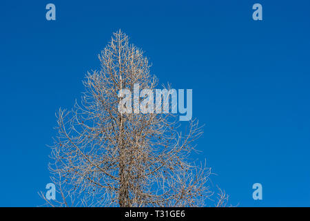 Picture of a tree with naked branches on a blue sky background, near Cortina D'Ampezzo, Dolomites, Italy - Stock Image