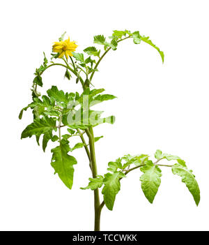 Twig  of tomato plant with with flowers isolated on white - Stock Image