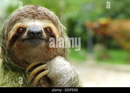 Closeup of a three-toed sloth, Costa Rica - Stock Image