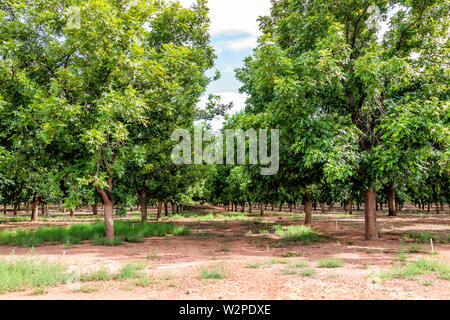 La Luz town in New Mexico with pistachio trees farm rows and nobody during sunny summer day - Stock Image