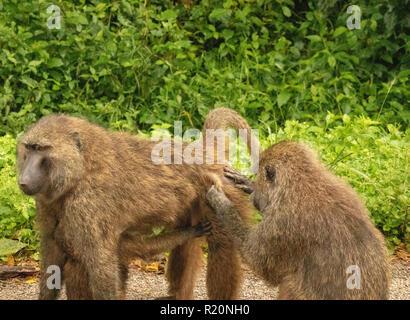female olive baboon grooming male (Papio anubis), Kibale National Park , Uganda, Africa - Stock Image
