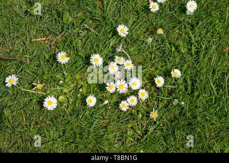 Random daisy flowers growing on grass - Stock Image