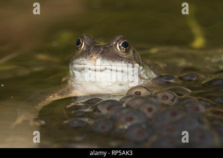 Common Frog, Rana temporaria, Male, waiting on frog spawn in breeding pond for females to arrive for spawning, February, garden pond - Stock Image