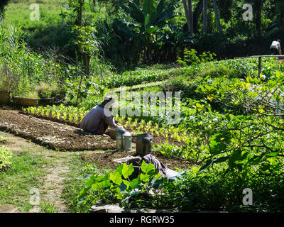 Laotian woman planting out lettuce plants in small culitivated plot of land Luang Prabang Laos Asia - Stock Image
