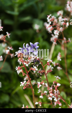 Wild flowers of london pride and aquilegia in english country garden. - Stock Image
