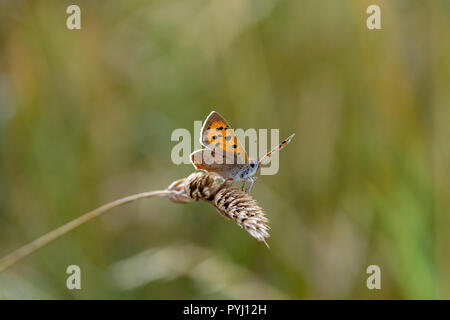 Large Copper butterfly (Lycaena dispar) resting on dried wild grass seed head - Stock Image