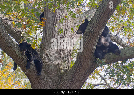 A lactating mother black bear lounges and snoozes with her cubs in a tall oak tree in autumn - Stock Image