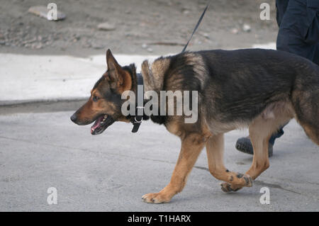 Maple Ridge, B. C. March 25, 2019. Canadian Prime Minister Justin Trudeau to address the media about affordable housing.  Police dog on site. - Stock Image