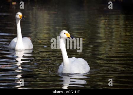 Pair of Whooper Swans ( Cygnus cygnus ) on lake - Stock Image