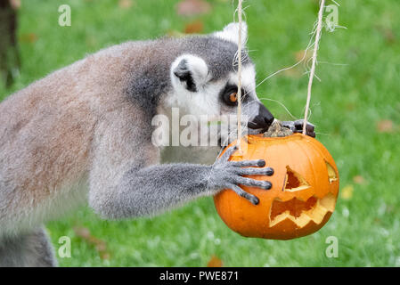 Whipsnade, United Kingdom. 16 October 2018. Keepers at ZSL Whipsnade Zoo carved huge pumpkins for each of the Zoo's three endangered Amur tiger cubs, Dmitri, Makari and Czar. The Zoo's spirited group of ring-tailed lemurs, so named after the ghosts of Roman mythology (lemures), also got in on the action. Keepers prepared a series of small pumpkins, filled with raisins and other tasty treats. Credit: Peter Manning/Alamy Live News - Stock Image