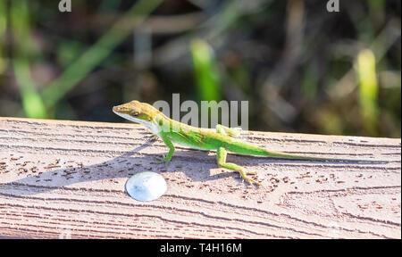 A green anole lizard (anolis carolinensis) . - Stock Image