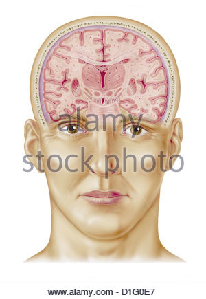 ILLUSTARTION - BRAIN CROSS SECTION - Stock Image
