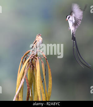 A male pin-tailed whydah (Vidua macroura) in splendid black and white breeding plumage displays to an inconspicuous female. ).  Bwindi Impenetrable Na - Stock Image