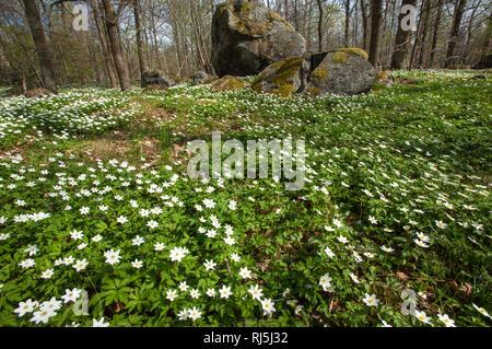 wood anemone - Stock Image