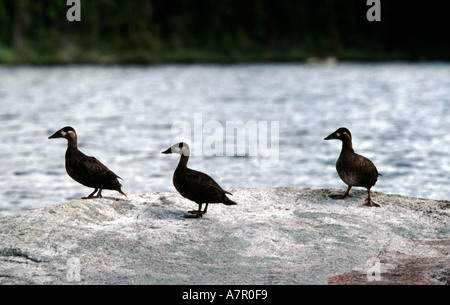 Three Scoter ducks on a northern Quebec lake Canada - Stock Image