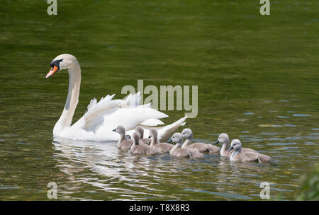White Mute Swan cygnets (Cygnus olor) swimming in water with Mother in Spring in West Sussex, England, UK. Young baby cygnets, newly born. - Stock Image