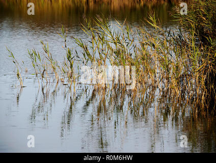 Reeds and reed beds in autumn sunshine on the margins of Horsey Mere, on of the famed Norfolk Broads. - Stock Image
