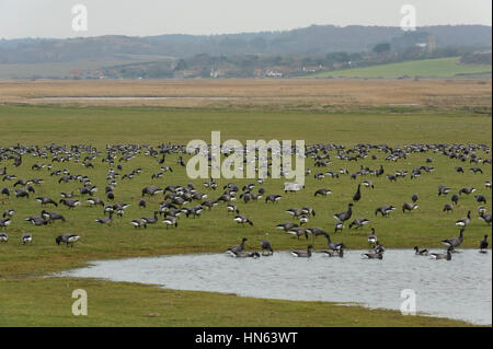 Flock of dark-bellied brent geese (Branta bernicla bernicla) grazing on freshwater marshes at Cley nature reserve, - Stock Image