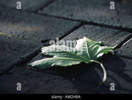 Green Sycamore (Maple) leaf on grey stones - Stock Image
