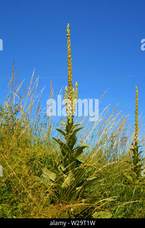 great mullein or common mullein or verbascum in front of azure sky as rural backdrop, verbascum with closed flowers beside a field - Stock Image