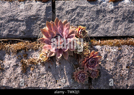 houseleek (Sempervivum tectorum) on the basalt facade of the flood pumping station at the river Rhine in Koeln-Niehl, the vegetation of the wall with - Stock Image