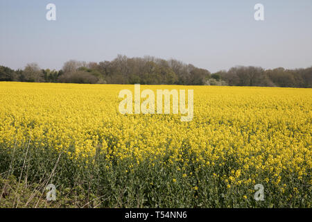 Tatsfield, UK. 21st Apr, 2019. Glorious sunshine over Rapeseed Fields in Tatsfield, Surrey, the forecast is for the hottest Easter Weekend on record with temperatures rising to 25C. Credit: Keith Larby/Alamy Live News - Stock Image